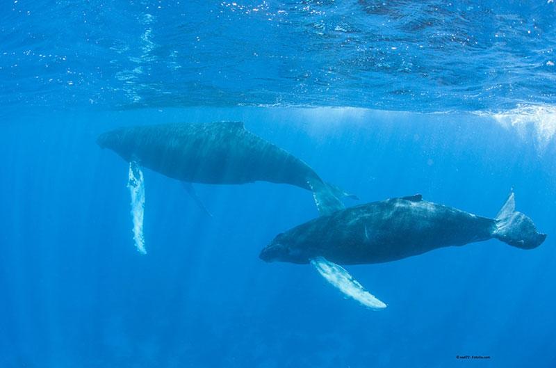 Naukowcy badają wpływ morskich badań sejsmicznych na zmiany migracyjne wielorybów