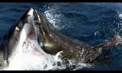 Żarłacz Biały kontra Żarłacz Biały