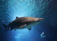 Naukowcy przymocowali kamery rekinom i zebrali wyjątkowe zdjęcia