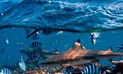 Złożono wniosek o uznanie żarłacza białopłetwego zagrożonym gatunkiem. Trwają konsultacje społeczne.