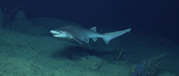 Biologowie zidentyfikowali nowy gatunek rekina