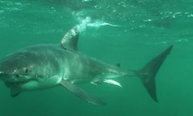 Badania nad migracją wielkich białych rekinów pozwolą na ich lepszą ochronę?