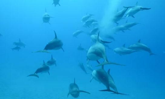 Czy delfiny odczuwają orgazm?