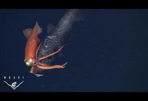 Kalmar vs gruba ryba