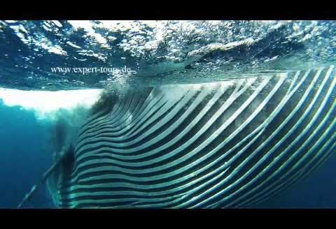 Migracja sardynek, niesamowity fenomen przyrodniczy