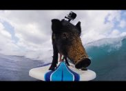 Najlepiej na świecie surfująca świnka