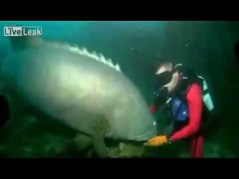 Nurek ugryziony przez wielkiego groupera