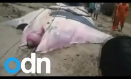 Olbrzymia Manta zaplątana w rybackie sieci