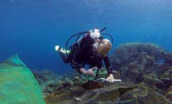 Rozgwiazdy stanowią coraz większe zagrożenie dla Wielkiej Rafy Koralowej