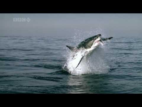 Żarłacz Biały podczas polowania na fokę