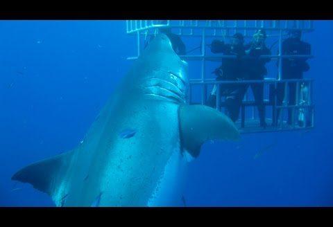 Czy Deep Blue jest największym żarłaczem białym?