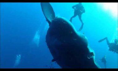 Nurkowanie z olbrzymim Mola Mola