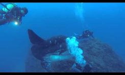 Mola Mola uwieczniona na filmie
