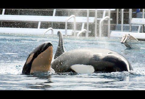 SeaWorld podaje oficjalne stanowisko w sprawie hodowli ssaków morskich w niewoli