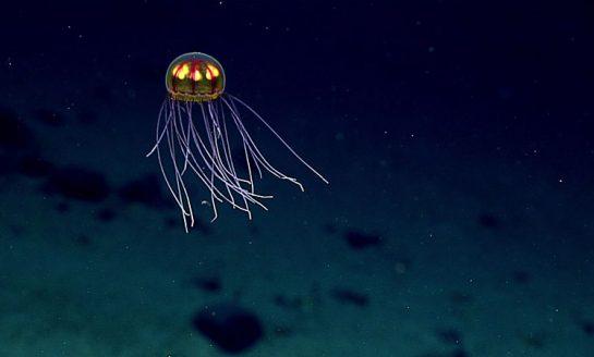 Barwna meduza znaleziona na 3700 metrach głębokości
