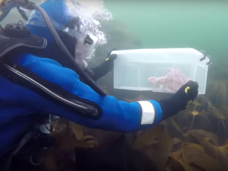 Ośmiornica wypuszczona do morza przez pracowników akwarium morskiego