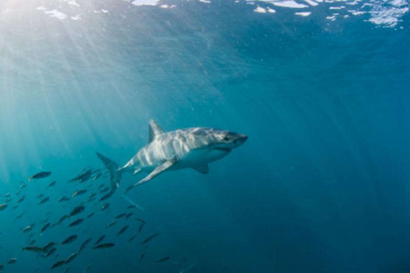 Dominikana wprowadza zakaz połowu wszystkich gatunków rekinów