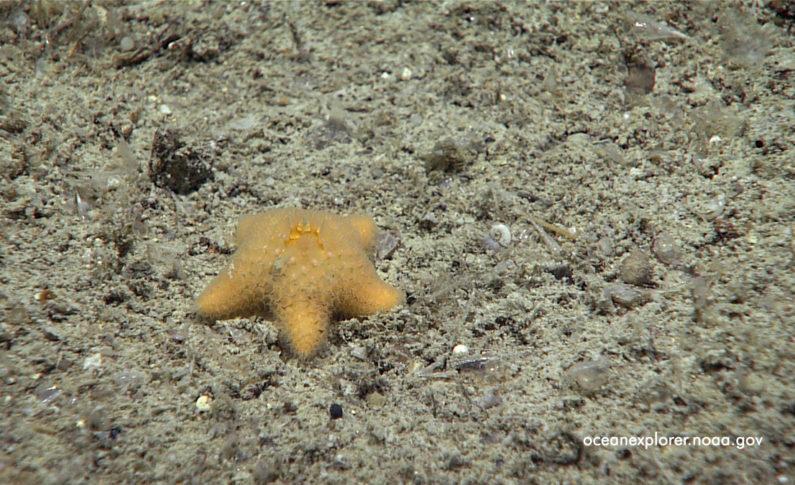 Gwiazda morska remasterem palmatus w Zatoce Meksykańskiej?