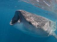 Jak długo żyją rekiny wielorybie?