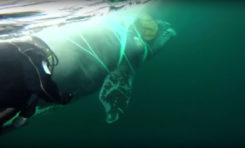 Nurkowie z marynarki wojennej Chile ratują wieloryba