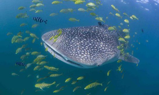 Rekiny wielorybie domatorami?