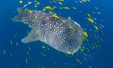 Odkryto niezwykłe zdolności u rekinów wielorybich