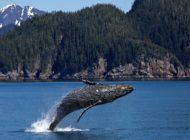 Kto nie lubi pieśni wielorybów?