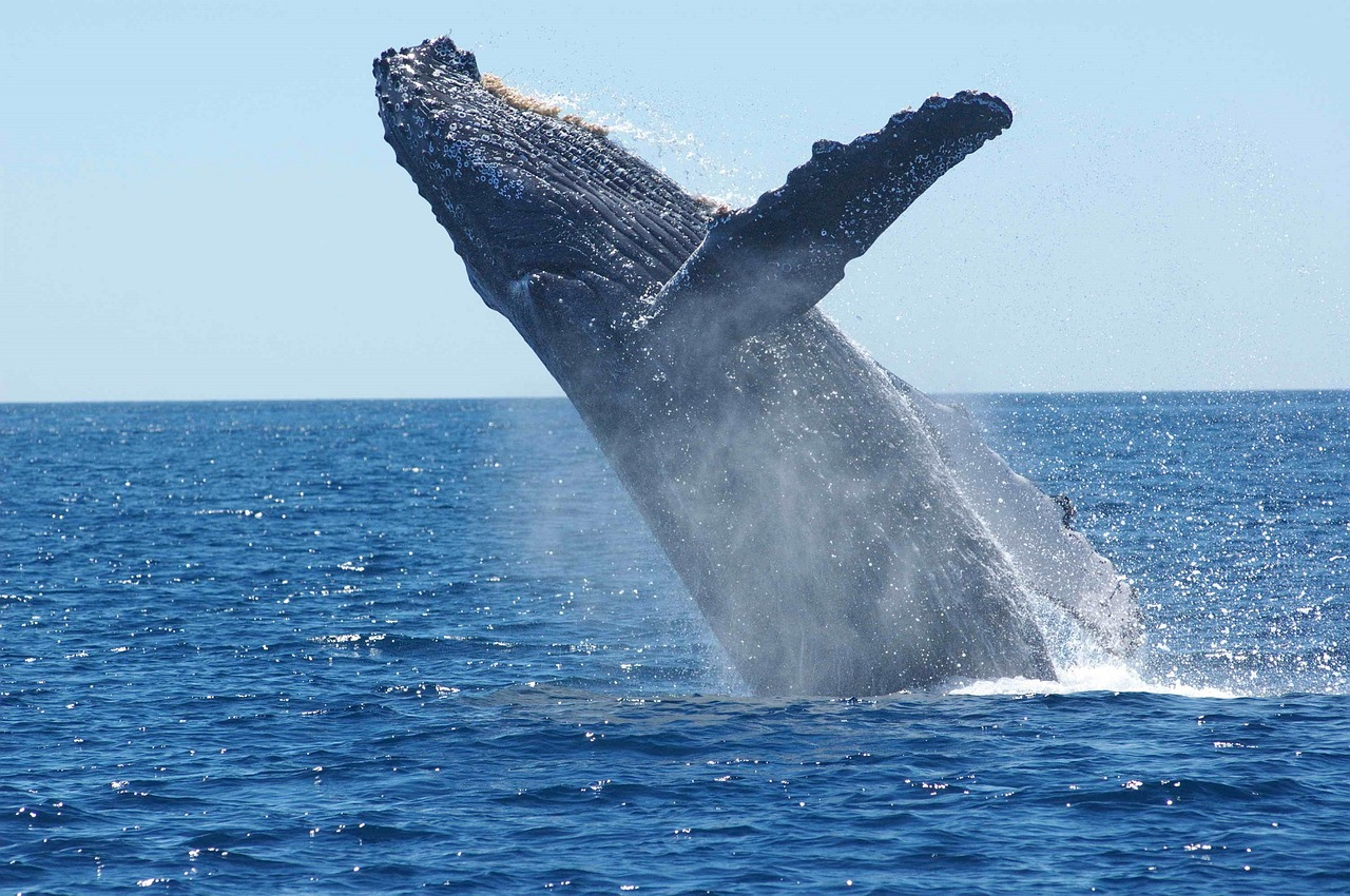 Sezon na mięso z wieloryba ma się coraz lepiej