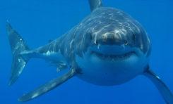 Odkryto tajemnicę miejsca przyciągającego żarłacze białe