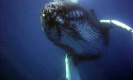 Japonia wraca do komercyjnych polowań na wieloryby