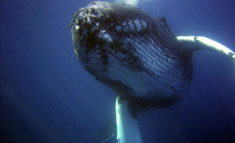 Czy wieloryby znikną z oceanów?