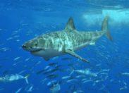 Nowa metoda wykrywania żarłaczy białych