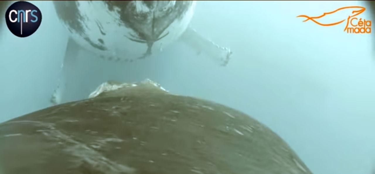 Po raz pierwszy sfilmowano karmienie młodego wieloryba