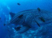 """Czy pozyskane informacje pozwolą na rozwiązanie """"tajemnicy"""" rozmnażania się rekinów wielorybich?"""
