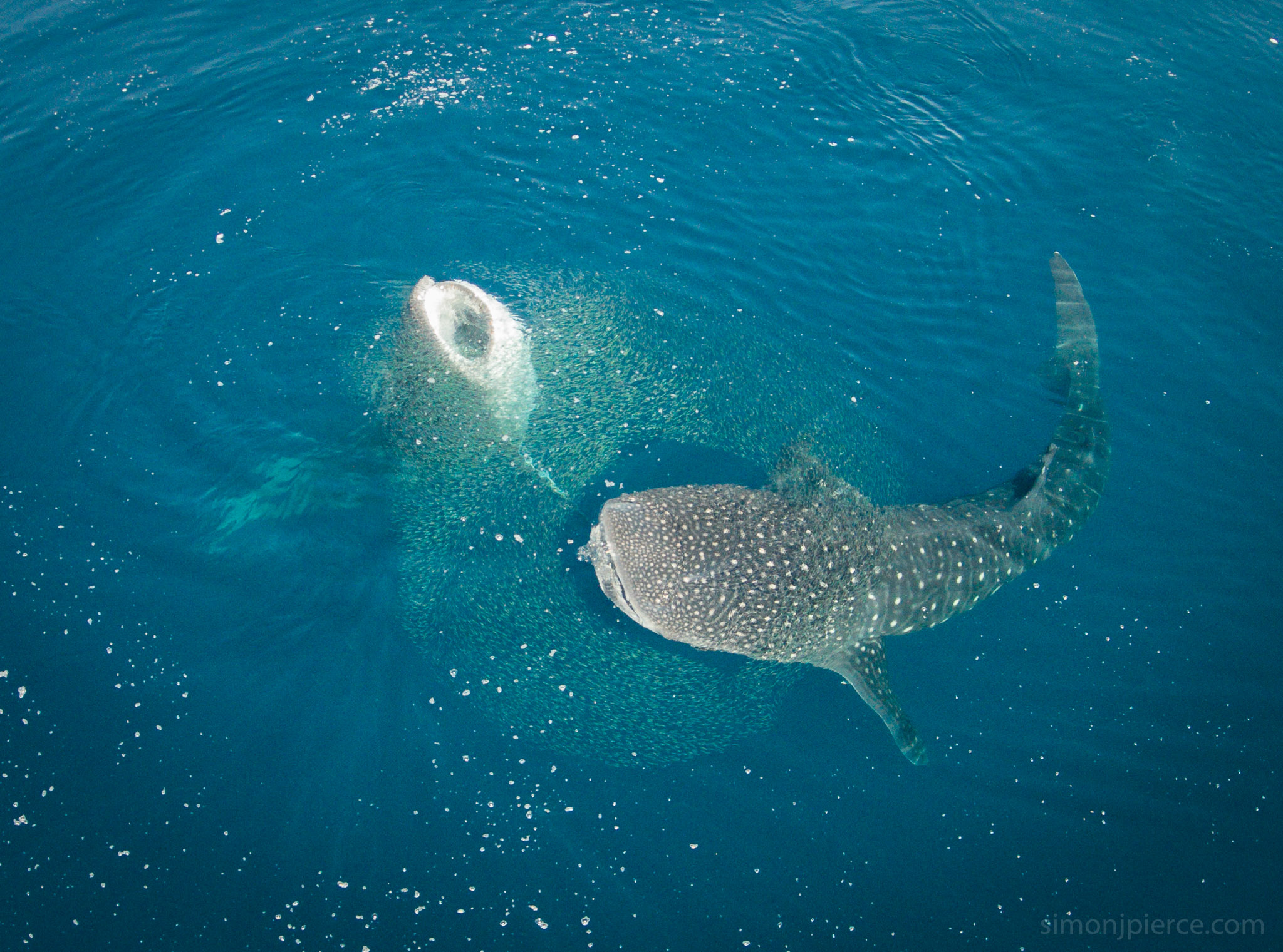 Pierwsze podwodne USG rekina wielorybiego