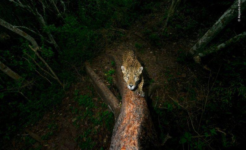 Drzewo - Alejandro Prieto, Meksyk. Zwycięzca 2018 w kategorii: Nagroda Fotoreportera Dzikiej przyrody.