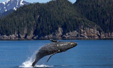 30 zwierząt morskich znalezionych na brzegu w tym kilka humbaków
