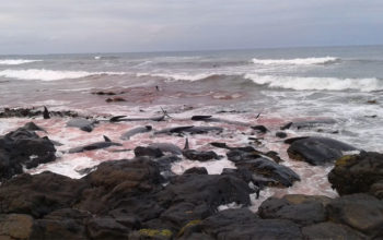 Kolejne 90 waleni wyrzucone na brzeg