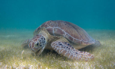 Mikrodrobiny plastiku znaleziono w żółwiach morskich na całym świecie