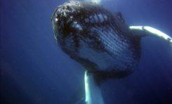 Czy melodie wielorybów różnią się?