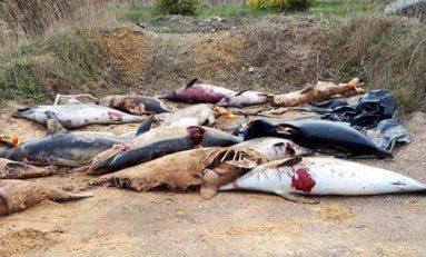 Okaleczone ciała delfinów znalezione na francuskim wybrzeżu Atlantyku