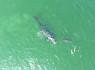 Wal biskajski najbardziej zagrożonym z wielorybów