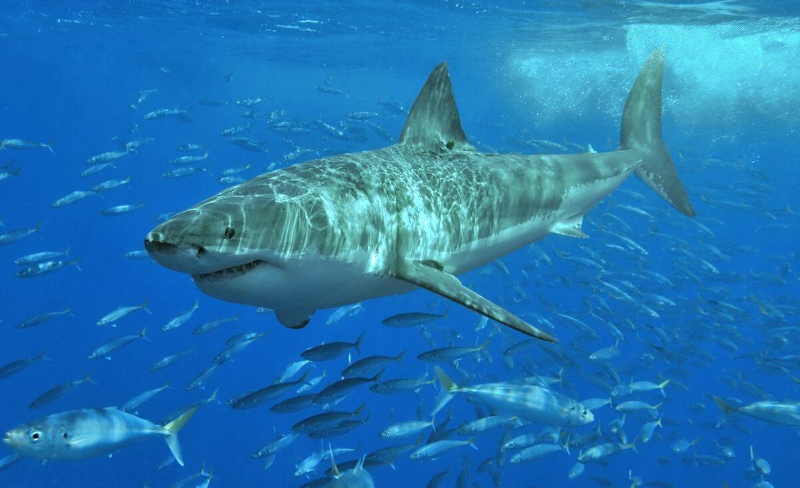 Raport podsumowujący ataki rekinów na świece