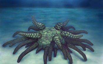 Sollasina cthulhu praprzodkiem ogórka morskiego