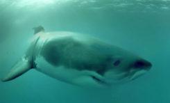 Wysokie stężenie metali ciężkich w organizmach żarłaczy białych