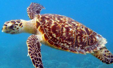Karaibska plaża zamknięta do czasu wylęgu żółwia morskiego