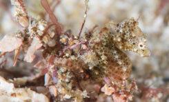 Nowy gatunek konika morskiego