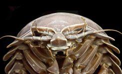 Olbrzym z głębokiego oceanu - nowy gatunek izopoda
