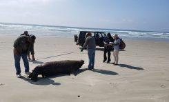 Znaleziono 351 martwych żółwi Karetta