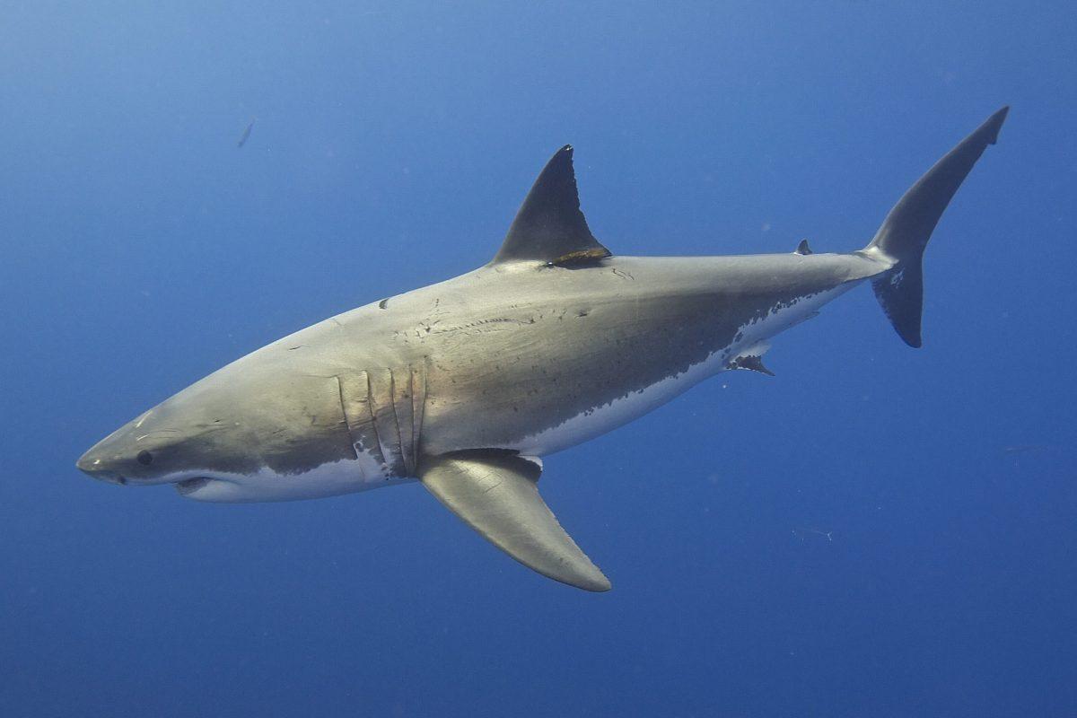Populacja rekinów i płaszczek spadła o ponad 70% na całym świecie